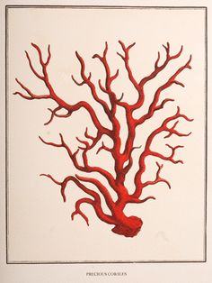 Items similar to Vintage Red Coral Sea Life Natural History . Pintura Coral, Starfish Clipart, Coral Drawing, Natural Curiosities, Nautical Art, Red Coral, Art Pages, Botanical Illustration, Vintage Prints