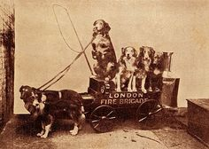 """""""London Fire Brigade"""" Collies.  Vintage photo.  These are Collies, NOT border collies."""