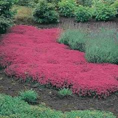 """Walk-On-Me Plant is a creeping thyme that grows only 3"""" tall. (Also called Mother of Thyme). Plant around flagstones or for a decorative, dense-growing ground cover. Walk on it and the whole area will be filled with the aromatic smell of fresh thyme. It grows well in partial shade to full sun and hard-to-plant areas. Spreads rapidly. by Jeffreys12956"""