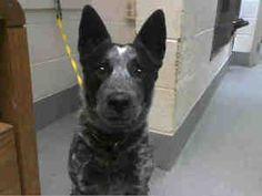 SPARDICUS is an adoptable Australian Cattle Dog (Blue Heeler) Dog in Albuquerque, NM.  ...
