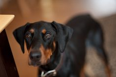 This beautiful Dobermann reminds me of one of many of my favorite loved Dobermanns who are playing until we meet again at the rainbow bridge!! ♥♥♥♥♥♥♥♥♥♥Cropped & docked or completely natural or docked & natural ears I love them all-they are truly angels now!! ♥♥♥♥♥♥♥♥♥♥♥♥♥♥:-*