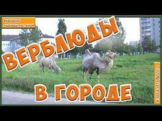 Корабль пустыни  в Российском городе. Верблюды пасутся в городе| Что бы ...