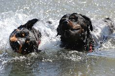 16 Great Pictures of Rottweilers