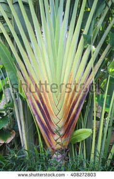 exotic tropical tree in the garden
