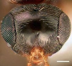 Xenomerus ochraceus - WaspWeb