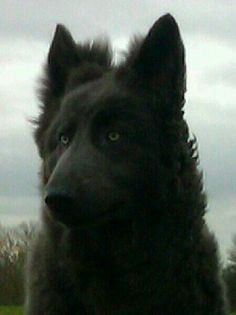 """Ronnie"" our blue german shepherd"