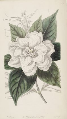 Cape Jasmine. Gardenia jasminoides var. fortuniana [as Gardenia florida var. fortuniana].  Edwards's Botanical Register v.32- t.43 (1846) [S. A. Drake] This is a public domain illustration. Right click to download and use as you choose.