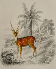 1855 Antique print of a SPOTTED DEER by AntiquePrintsOnly