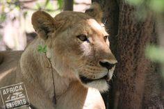 Botswanan eläimet Safari, Animals, Animales, Animaux, Animal, Animais