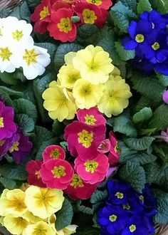 Little Flowers, All Flowers, Amazing Flowers, Colorful Flowers, Spring Flowers, Beautiful Flowers, Primroses, Shade Plants, Flower Pictures