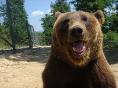 Cristi, a well known resident at the World Animal Protection-funded sanctuary in Romania, smiles for the camera. Black Bear, Brown Bear, World Animal Protection, Cinnamon Bears, Smiling Animals, Pose For The Camera, English Bull Terriers, Animals Of The World, Pet Gifts