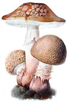 Blusher (Amanita rubescens)  Albin Schmalfuss, from Führer für Pilzfreunde (The mushroom lover's guidebook) vol. 1, by Edmund Michael, Zwickau, 1901.