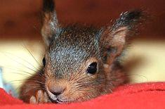 Eichhörnchen Notruf e.V. - das Telefonteam