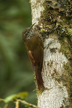 Montane Woodcreeper - Rio Blanco - Colombia_S4E2294