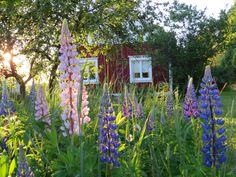 behind the lupin flowers a red treehouse, perhaps a summer cottage