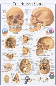 A great poster of the anatomy of the human skull! Text in 3 languages - English, French, and Spanish. Perfect for classrooms, doctors' offices, and Med Students. Fully licensed. Ships fast. 24x36 inch