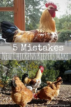Mistakes new chicken keepers make. Raising chickens is probably a lot easier than you think. Try to avoid these five mistakes now that you know about them! | Homestead Wishing, Author Kristi Wheeler | http://homesteadwishing.com/mistakes-new-chicken-keepers-make/ | chicken-mistakes, keeping-chickens, homesteading, homestead-wishing |