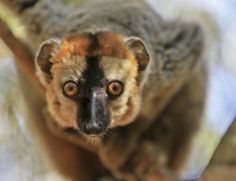 Face to face with a curious, red fronted brown lemur. Watching these primates leap through the treetops for impossible distances cannot be put into words.