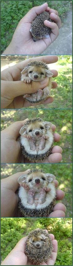 It's like a little ball of pine needles, with a face. Adorable baby hedgehog.