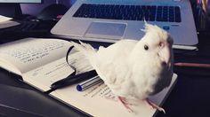 Quién es la escritora de la casaaaa?Susi por supuesto. #pets #writers #mascota #ninfa #calopsita #escritora #bichito #animal