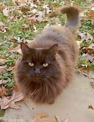 Samantha - NC is an adoptable Domestic Long Hair-Black Cat in Liberty, NC. Courtesy post: Samantha is a beautiful, longhaired, female cat around 10 years old. She was one of several abandoned cats wh...