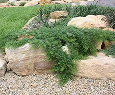 YAREENA™ Myoporum is a drought and frost tolerant ground cover plant good for coastal positions