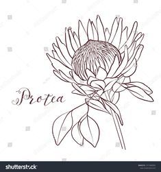Find Protea Monochrome Botany Clipart On White stock images in HD and millions of other royalty-free stock photos, illustrations and vectors in the Shutterstock collection. Thousands of new, high-quality pictures added every day. Floral Illustrations, Botanical Illustration, Protea Art, Floral Drawing, Abstract Line Art, Thread Art, Art Walk, Pen Art, Line Drawing