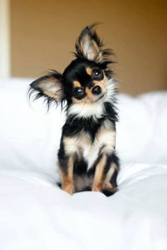 Chihuahua dogs are some of the cutest dogs on the planet simply because of their small size - who could resist? Here are 8 Chihuahua dogs that will melt your heart! Baby Animals, Funny Animals, Cute Animals, Best Dog Breeds, Best Dogs, Beautiful Dogs, Animals Beautiful, Perro Papillon, Papillon Puppies