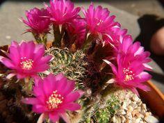 Crasulas y más 17-08-08 - Adriana Celli - Álbumes web de Picasa Cactus, Album, Plants, Pest Control, Compost, Picasa, Flowers, Plant, Planets