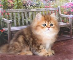"""Chinchilla Golden Teacup Persian Kitten * * """" I SURE HOPE THIS ISN'T A TOW AWAY ZONE."""""""