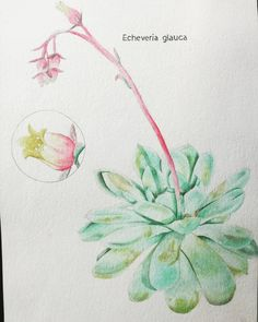 Went through my big art closet full of old university projects. I found this project which was really fun because I got to use watercolor, pen and pencil  #art #artproject #illustration #flowerillustration #watercolordrawing #pendrawing #flowers #plants #plantillustration #universityproject #drawings #artillustration #painting #flowerpainting Watercolor Drawing, Drawing S, Plant Illustration, Digital Illustration, Pencil Art, Art Projects, University, Illustrations, Big