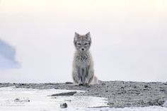 Interesting Photo Of The Day: Arctic Fox Stare Down #photography #photo http://www.picturecorrect.com/news/photo-arctic-fox-stare-down/