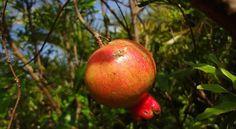 Coltivare il melograno: tutti i consigli sulla coltivazione del melograno, dalla messa a dimora fino al raccolto. Potatura, concimazione, irrigazione e