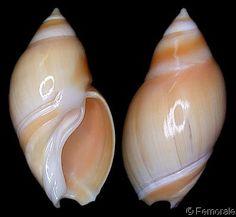 Eburna glabrata  (Linnaeus, C., 1758) Golden Ancilla Shell size 30 - 80 mm Colombia; Aruba; Venezuela