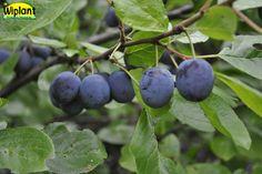 Prunus domestica 'Sinikka', Finskt urval. Mognar i slutet av aug. Litet till medelstort blått el blåviolett plommon. Zon III