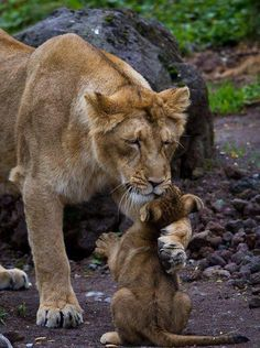 lion The call of the wild. Animals are so cute Animals And Pets, Baby Animals, Cute Animals, Animals Images, Wild Animals, Funny Animals, Beautiful Cats, Animals Beautiful, Big Cats