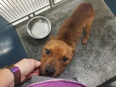 01/09/2018 SUPER URGENT RESCUE / SPONSOR Tony a Pit Bull Terrier, brown / chocolate medium male Pit Bull mix in Henderson, NC. Act quickly to RESCUE / sponsor 3 year old Tony as he is due to be destroyed very soon. He was found starving HW+ he is caring, eager to please and loves attention. Free transport to NJ.