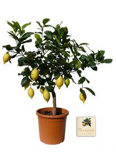 ein Zitronenbäumchen für die Terrasse