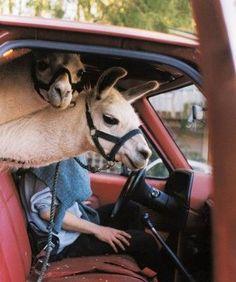 Lamas in car