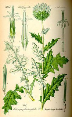 Flora von Deutschland Österreich und der Schweiz (1885) - Echinops sphaerocephalus, Botanical