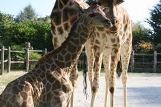 Naissance d'un girafon au Zoo de La Flèche