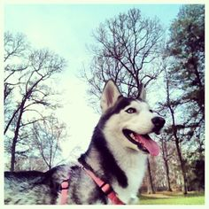 Beautiful Day, Beautiful Siberian Husky.
