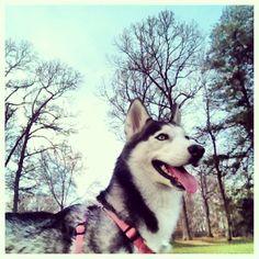Beautiful Day, Beautiful Siberian Husky.