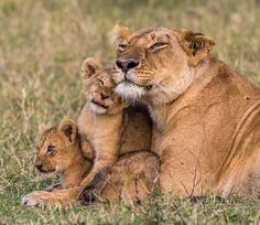 Lioness and cubs Big Cats, Cats And Kittens, Cute Cats, Beautiful Cats, Animals Beautiful, Beautiful Family, Cute Baby Animals, Animals And Pets, Lioness And Cubs