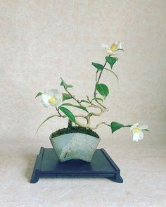 #ワビスケ #侘助 #白 #ツバキ #bonsai  #camelia #盆栽 #白い花