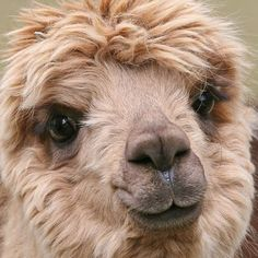 Look at this cute, fluffy face, no wonder alpaca rugs turn out so soft!⠀ PS: No Alpacas are harmed in our rug making process, we use sustainable practices (read more on our website) Alpacas, Cute Creatures, Beautiful Creatures, Animals Beautiful, Farm Animals, Animals And Pets, Cute Animals, Alpaca Facts, Llama Face