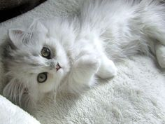 White long haired kitten / kitty cat / animal photography pictures / photos
