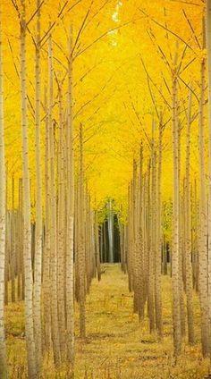 I pin lots of aspen tree pics . Aspen trees in Vail Colorado Wonderful Places, Beautiful Places, Amazing Things, Simply Beautiful, Trees Beautiful, Magic Places, Aspen Trees, Birch Trees, Birch Forest