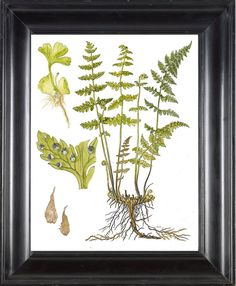 FERN PRINT Lindman 8X10 Botanical Art Print 6  by FleurDeNature, $10.00
