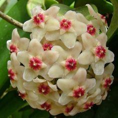 Hoya carnosa, popularmente conhecida como flor de cera é uma trepadeira originária da Ásia e da Austrália. Floresce na primavera, com cachos de flores pequenas e carnosas, em forma de estrela, que se assemelham a flores de cera.